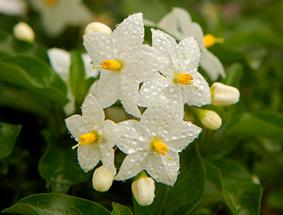 japão-flor