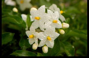jasmine-japao